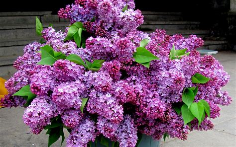 purple lilacs purple lilacs wallpaper 1290420