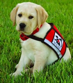 how do they service dogs service dogs of virginia va