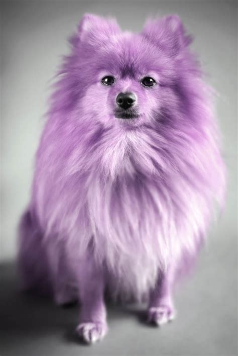purple pomeranian purple pomeranian pomeranians animals hairdresser and fur