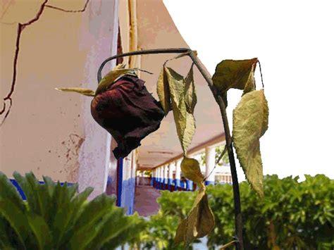 imagenes de flores marchitas las mil flores marchitas de la agrupaci 243 n manuel c 225 ceres