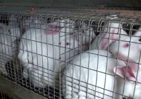gabbie per allevamento conigli europarlamento approva risoluzione contro gabbie per