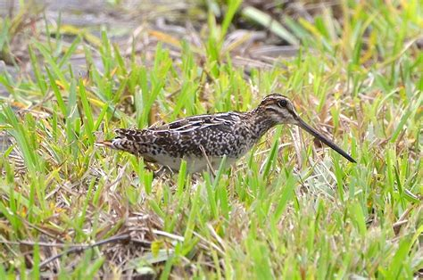 snipe bid snipe shorebird bahamas rolling harbour abaco