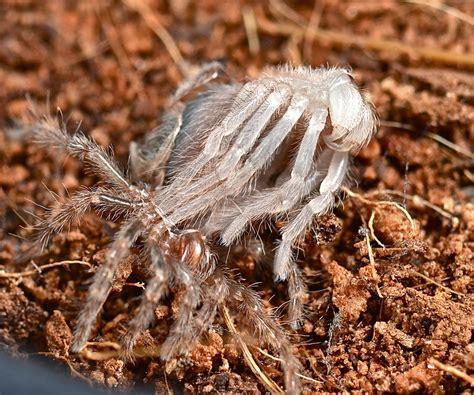 abnormal mexican redknee tarantula brachypelma smithi