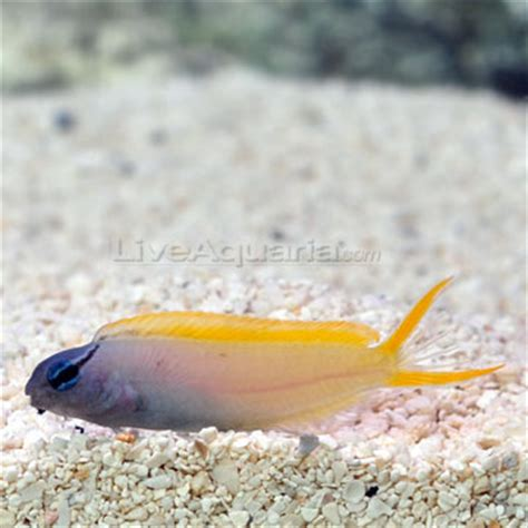 Maxy Kuning Sw saltwater aquarium fish for marine aquariums forktail blenny
