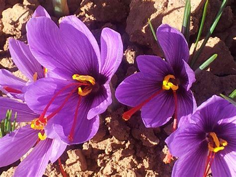 la flor del azafrn 1503953505 la rosa del azafrn
