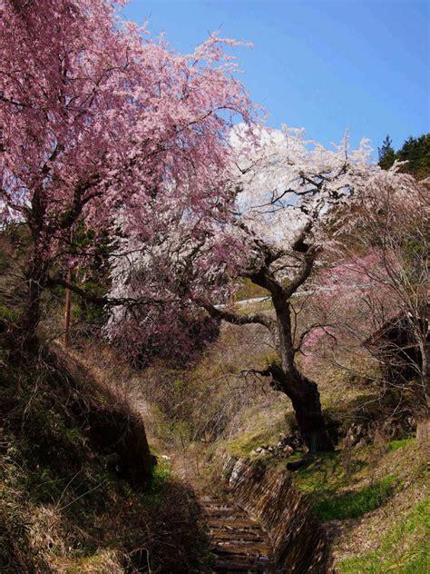 714 cherry tree way tsumago two year trip