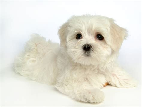 white maltipoo puppies fluffy maltese puppy dogs white maltese puppies wallpapers 1600x1200 no 34 desktop
