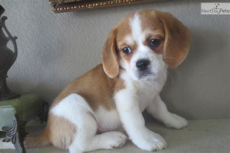 beaglier puppies beaglier puppies for sale california breeds picture