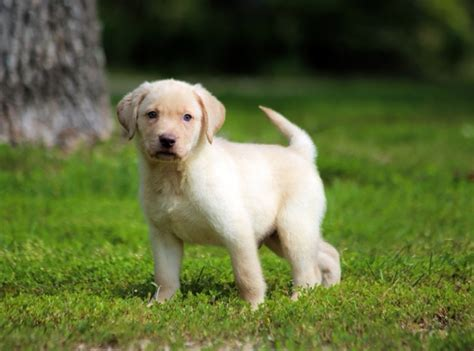 lab puppies for sale in utah labrador retriever puppies for sale taylorsville ut 243540