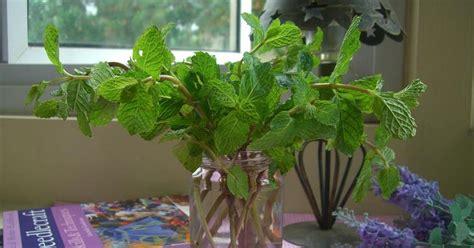 menanam mint hidroponik catatan kebun mungil memperbanyak tanaman mint