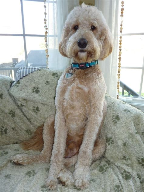 goldendoodle haircuts golden doodle hair styles sprucing up for spring jack