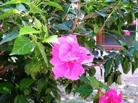 Arbres Fleurs Roses by Photo Arbre 224 Grosses Fleur Roses Chiffon