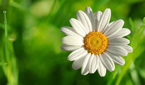 White Flowers by Top Hd White Flower Wallpaper Flowers Hd 56 16 Kb