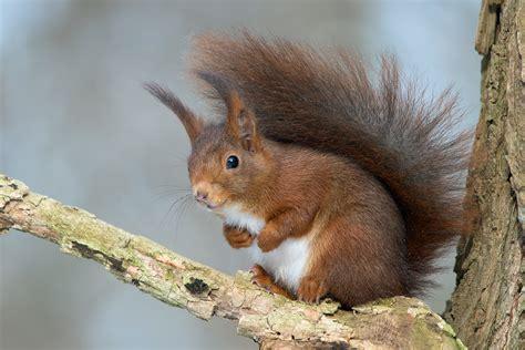 Tiere Im Winter Eichh Rnchen 4539 by Tiere Im Winter Eichh 246 Rnchen Eichhoernchen Flickr