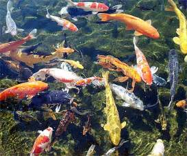 koi fish colors koi fish beautiful pond zen fish animal pictures and