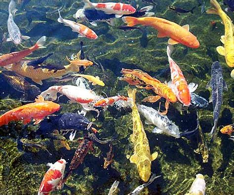 koi colors koi fish beautiful pond zen fish animal pictures and