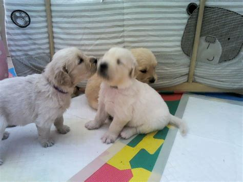 golden retriever 2 years for sale golden retriever puppies for sale leamington spa warwickshire pets4homes