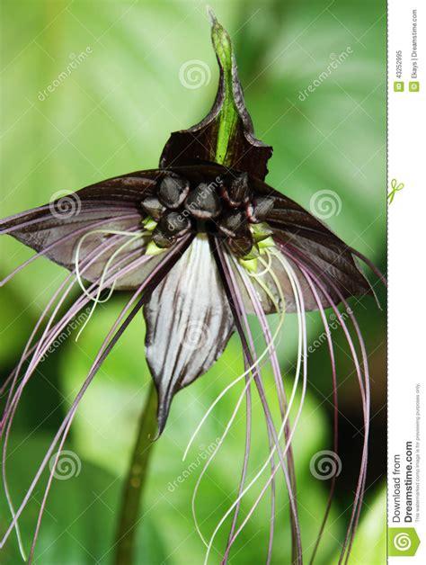 fiore pipistrello variet 224 nero fiore pipistrello fotografia
