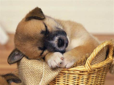 sleepy puppies animal moments sleepy puppy refuses to up compilation