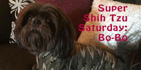 shih tzu won t eat food shih tzu saturday bo bo oh my shih tzu