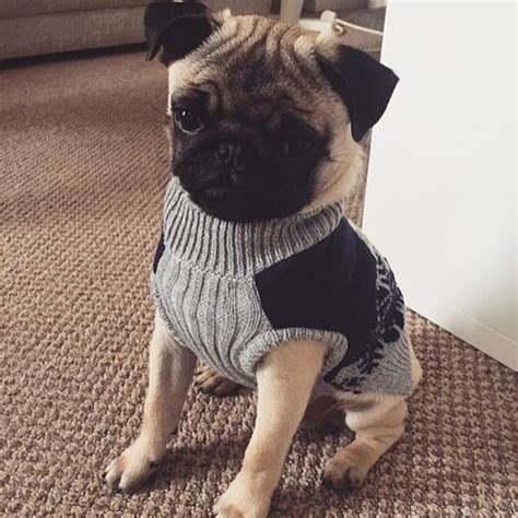 sweater pug 14 things that make pugs happy