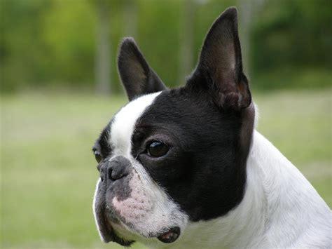 boston terrier puppies michigan pin miniature boston terrier puppies michigan on