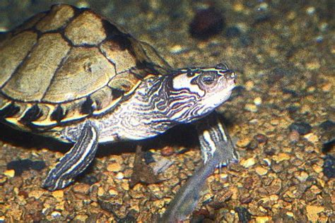 Northern Black Knobbed Map Turtle by Kingsnake Kingsnake Alabama Map Turtle And