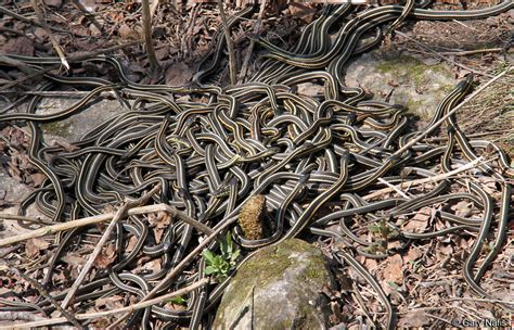 Garter Snake Den Sided Gartersnake Thamnophis Sirtalis Parietalis