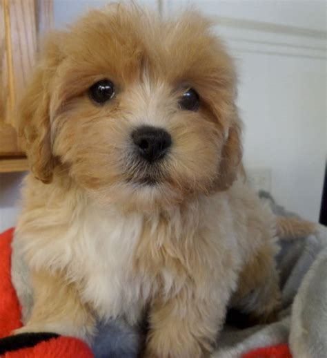 havanese poodle puppies 4 sale breeds picture