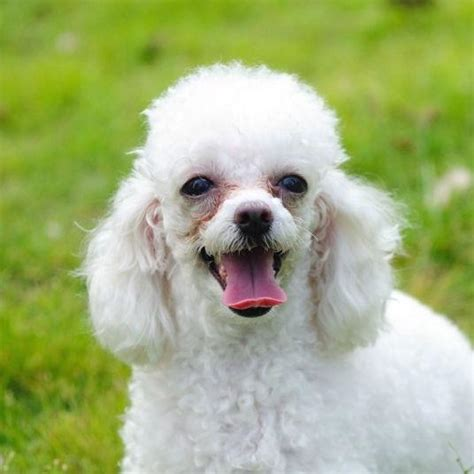 pictures of poodle haircutss 10 haircuts for poodles