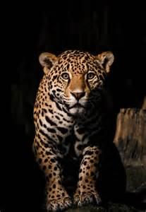 What Color Is A Jaguar Cat Jaguar Photograpy Big Cat Print Jaguar Color Photograph