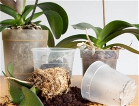 transplanting and repotting orchids