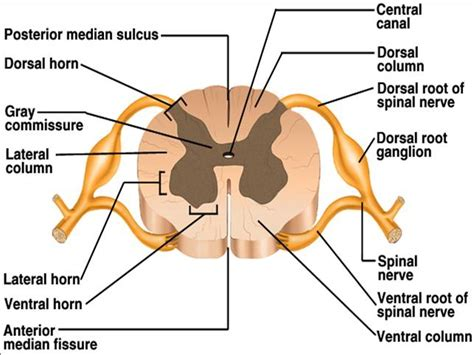 spinal nerve cross section ch 12 gross anatomy of the spinal cord