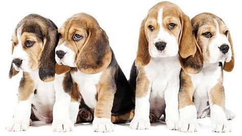 cani da appartamento pelo corto razze di cani taglia media quali sono le pi 249 famose