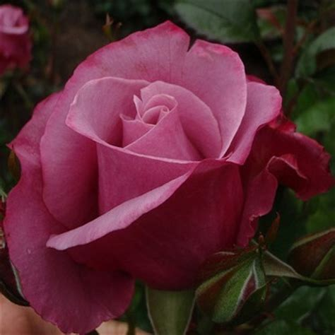barbra streisand the rose rosa quot barbra streisand quot rose ebay