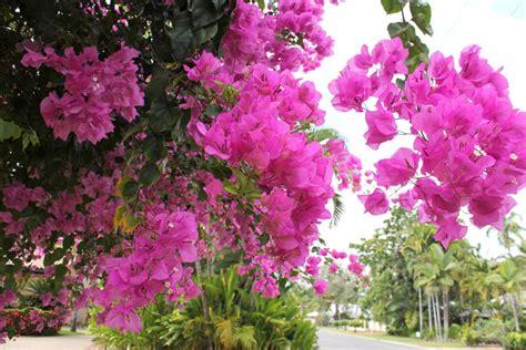 flowering tropical shrubs tropical flowers from port douglas cherryandme