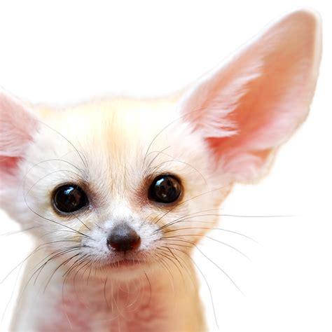 Baby Fennec Fox Wallpaper - fennec fox foxes animals animals