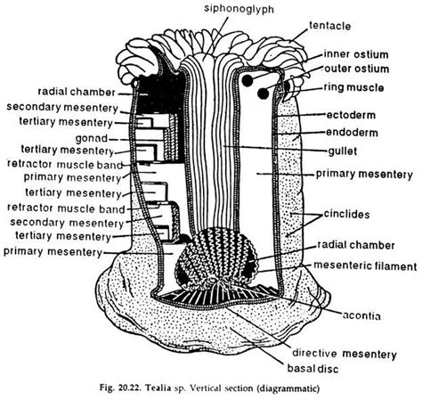 sea anemone diagram anemone diagram 28 images iris fong memory component
