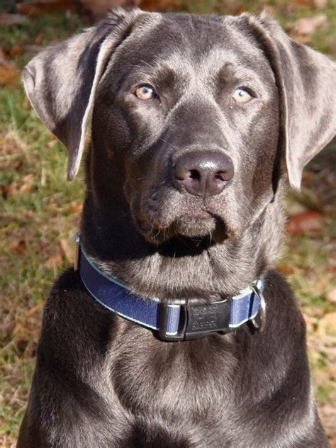 charcoal lab puppies 1000 ideas about charcoal lab on silver labs silver lab puppies and