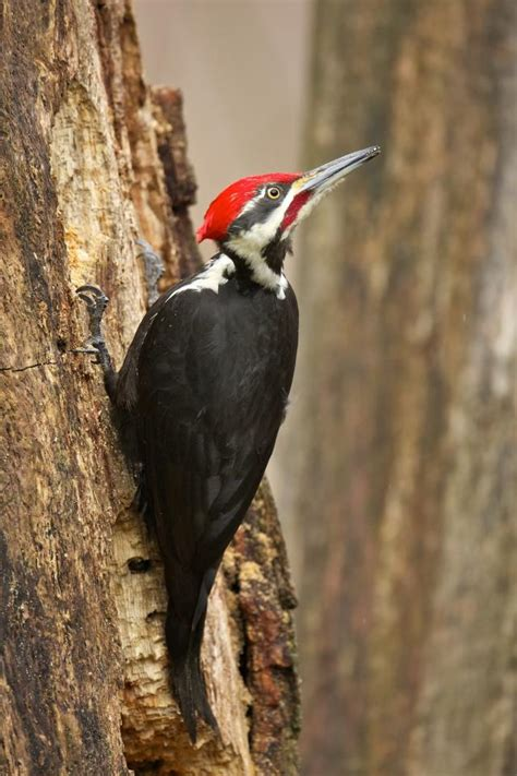 pileated woodpecker 1 3 birdnote
