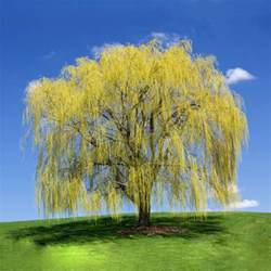 top 30 fastest growing trees for your home fast growing