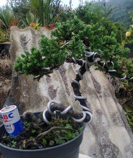 Bibit Bonsai Cemara Udang tanaman cemara buaya bibitbunga