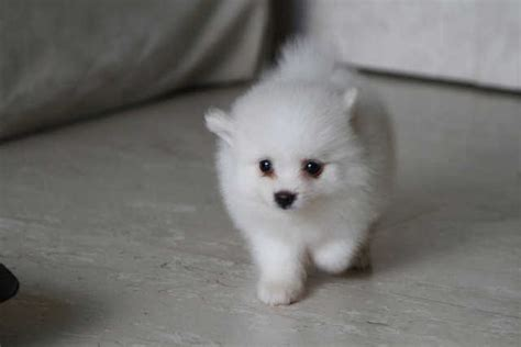 baby pomeranian for sale in singapore 2 months mini pomeranian puppy for sale for sale adoption in singapore adpost