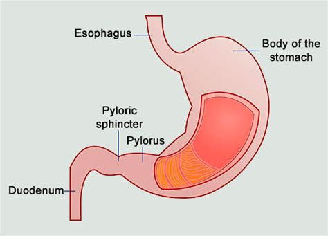 a diagram of the stomach image gallery sphincter diagram