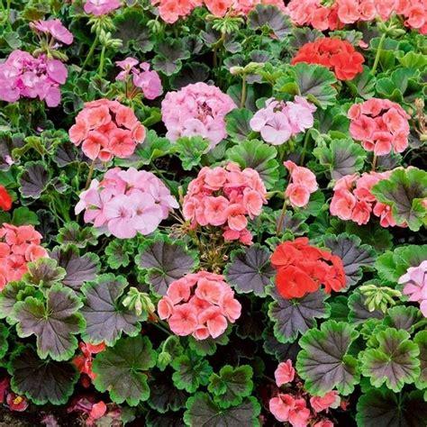 geranio fiore geranio zonale geranio caratteristiche geranio zonale