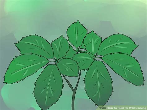 how to hunt for wild ginseng 11 steps with pictures how to hunt for wild ginseng 11 steps with pictures