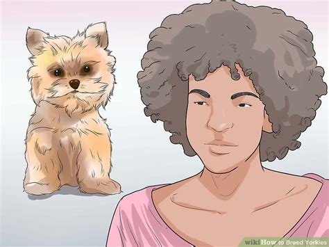 how to breed a yorkie how to breed yorkies 12 steps with pictures wikihow