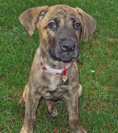 boxer mastiff mix puppies tiger lilly the boxer mastiff mix pictures 107505 breeds picture