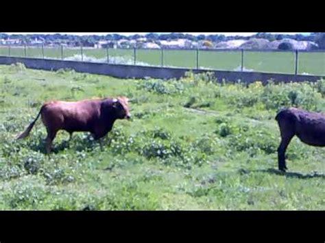 crazy horse mates cow bull riding a donkey mashpedia video