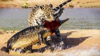 Jaguar Fighting Crocodile Jaguar Attacks And Eats Crocodile December2015